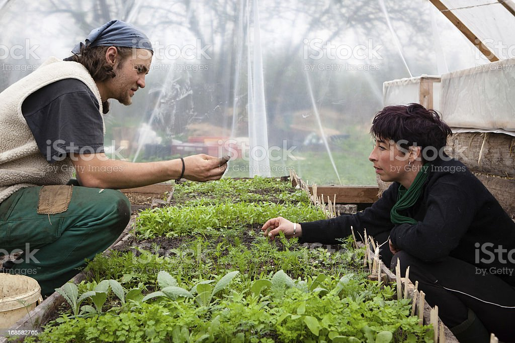 Organic farming: young farmers work at plants in greenhouse royalty-free stock photo