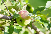 A bright ripe and juicy apple hangs off an apple tree in the blue sky, close-up spring concept colorful
