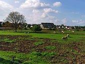 organic free pigs on farm
