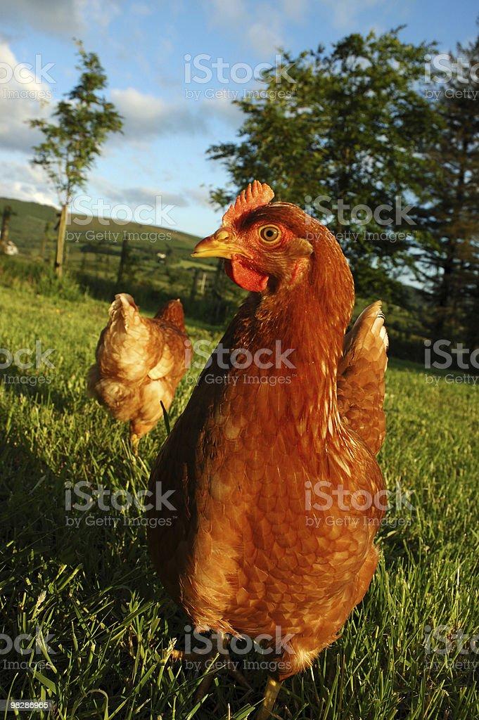 유기 방목 닭 royalty-free 스톡 사진