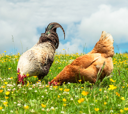A cockerel and a hen foraging together in long grass in early summer. High animal welfare standards with organically raised, free range chickens with plenty space for them to roam.