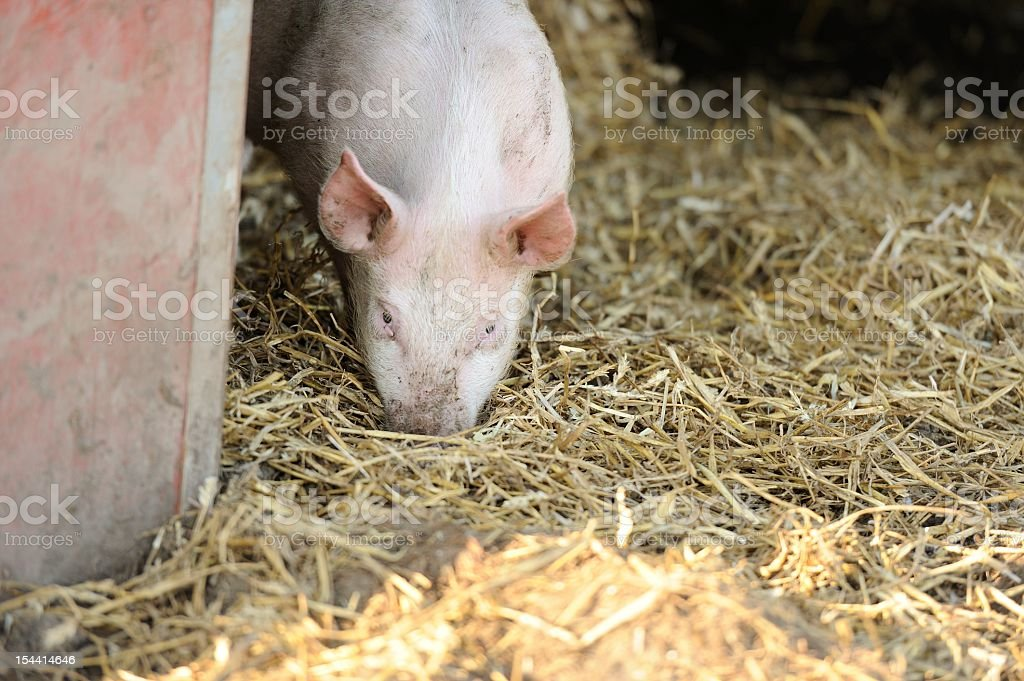 Organic free-range pig in shelter  with straw stock photo