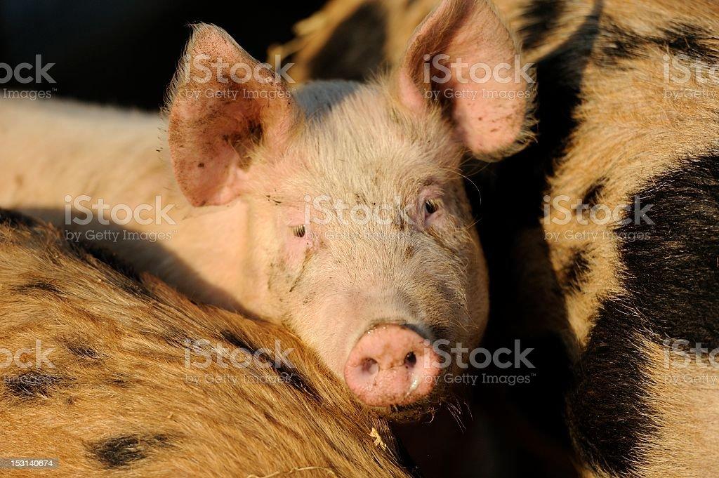 Organic free-range pig peeking out stock photo