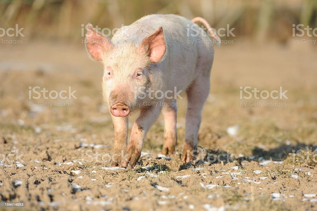 Organic free-range pig stock photo