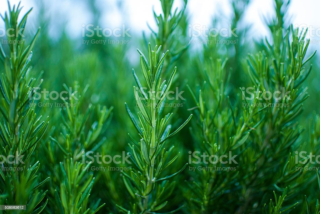 Organic fresh rosemary herb growing in the garden. stock photo