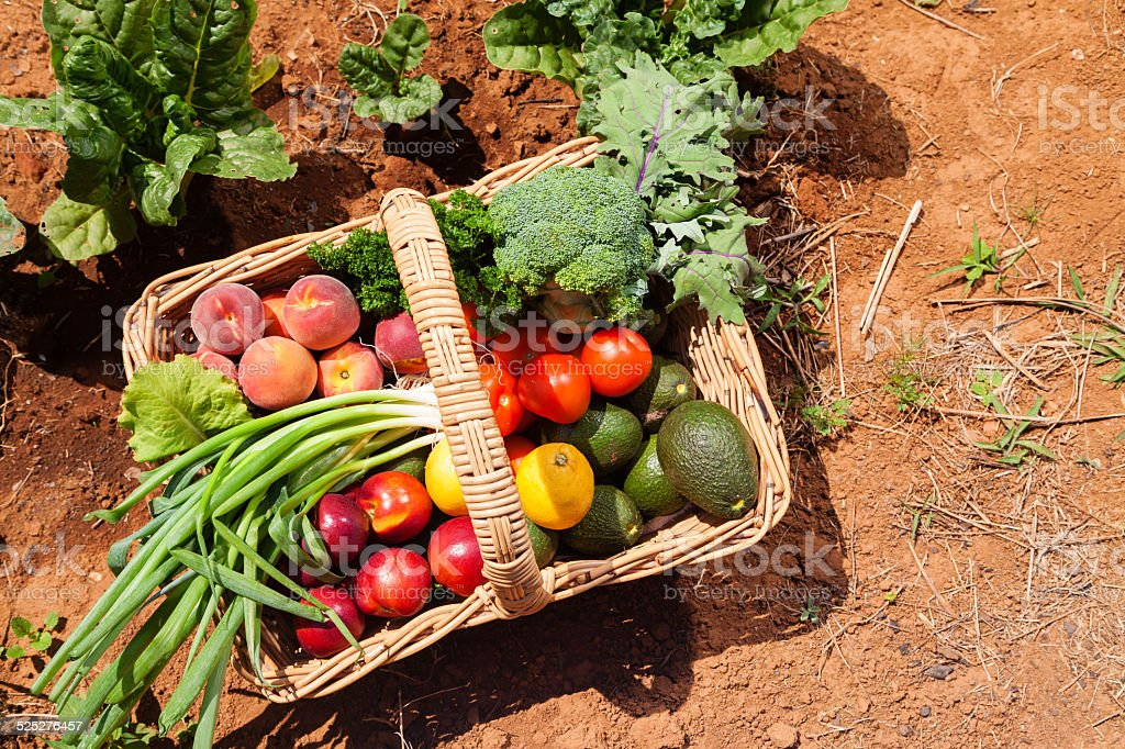 Organic fruit and vegetables Basket of fresh organic fruit and vegetables in garden Agricultural Field Stock Photo