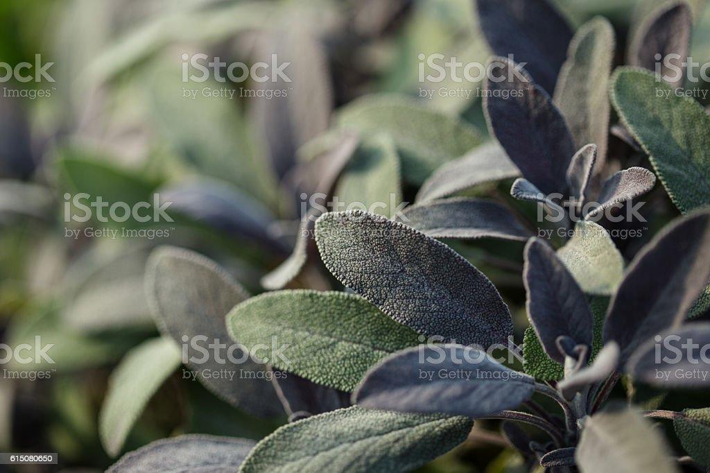 Organic gardening, growing sage in outdoor herb garden stock photo