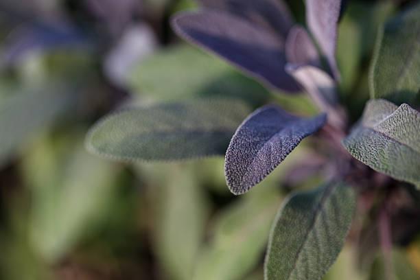 organic gardening, growing sage in outdoor herb garden - italienische lebensart stock-fotos und bilder
