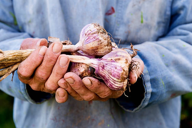 Organic Garlic Harvesting stock photo