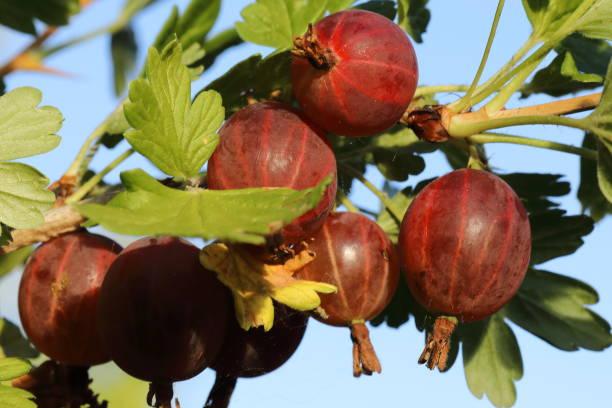 organic gooseberries (ribes grossularia) - pejft stock photos and pictures