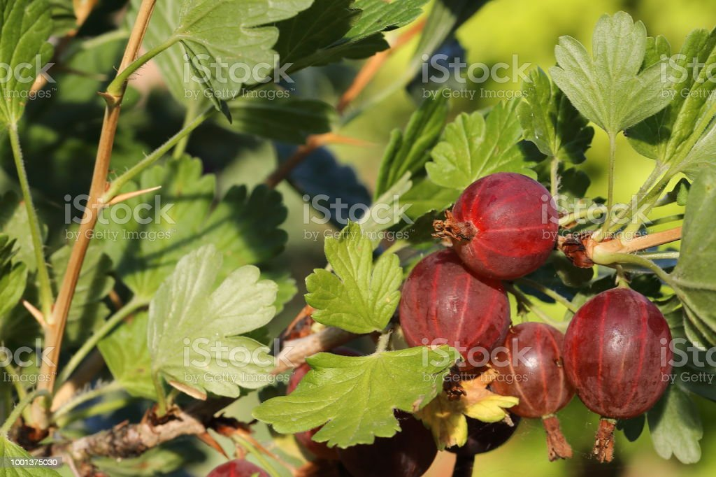 Organic Gooseberries (Ribes grossularia) stock photo