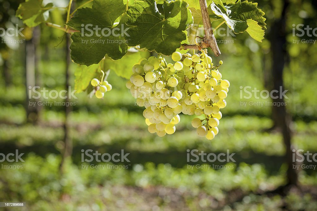 Organic Grapevine stock photo