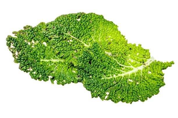 folhas de repolho verde orgânico, em branco - repolho verde - fotografias e filmes do acervo
