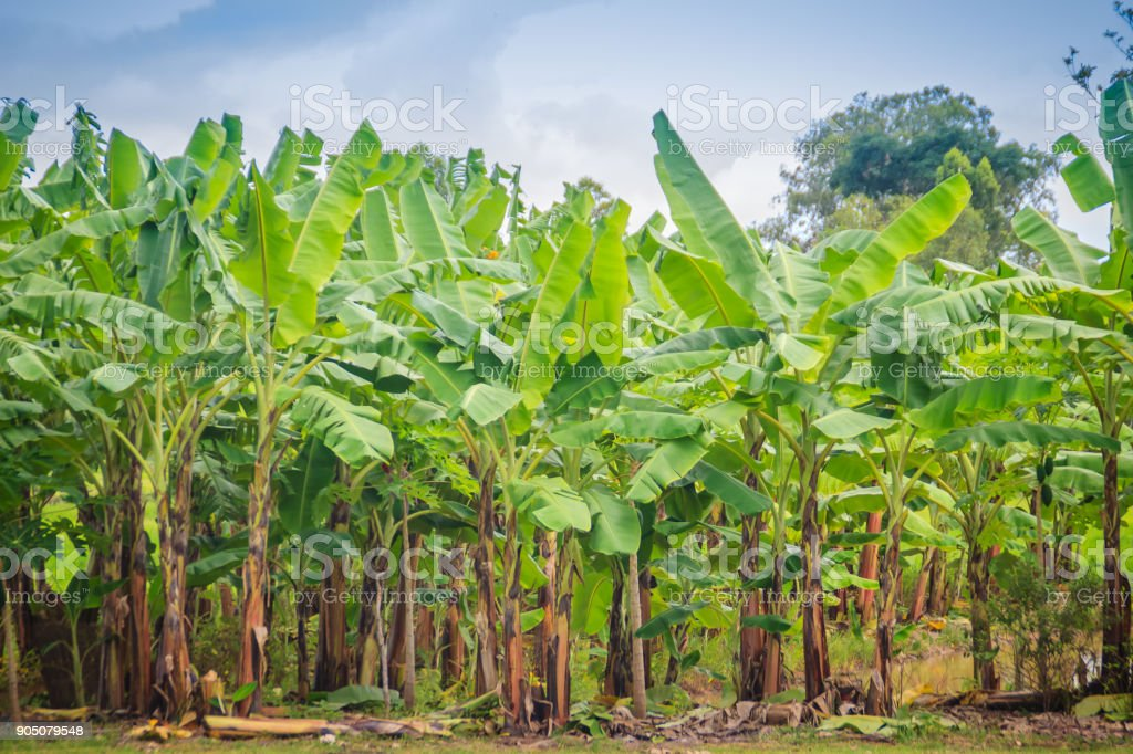 Organic green forest of banana trees with bunch of young green banana fruits for agriculture background. Good Manufacturing Practice (GMP) and Hazard Analysis and Critical Control Point (HACC) concept stock photo