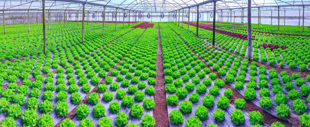 organic green lettuce plants or salad vegetable cultivation in red soil wrapped a black polyethylene film at greenhouse farm. concept of healthy eating. farming. food production. somewhere in portugal - теплица стоковые фото и изображения