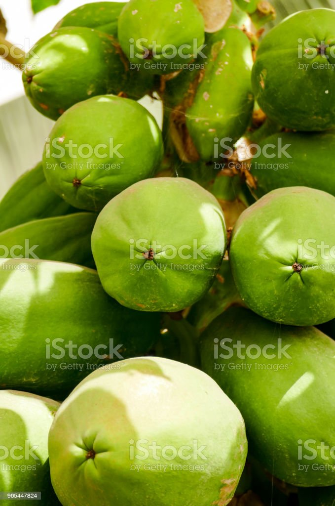 organic green papaya on tree zbiór zdjęć royalty-free