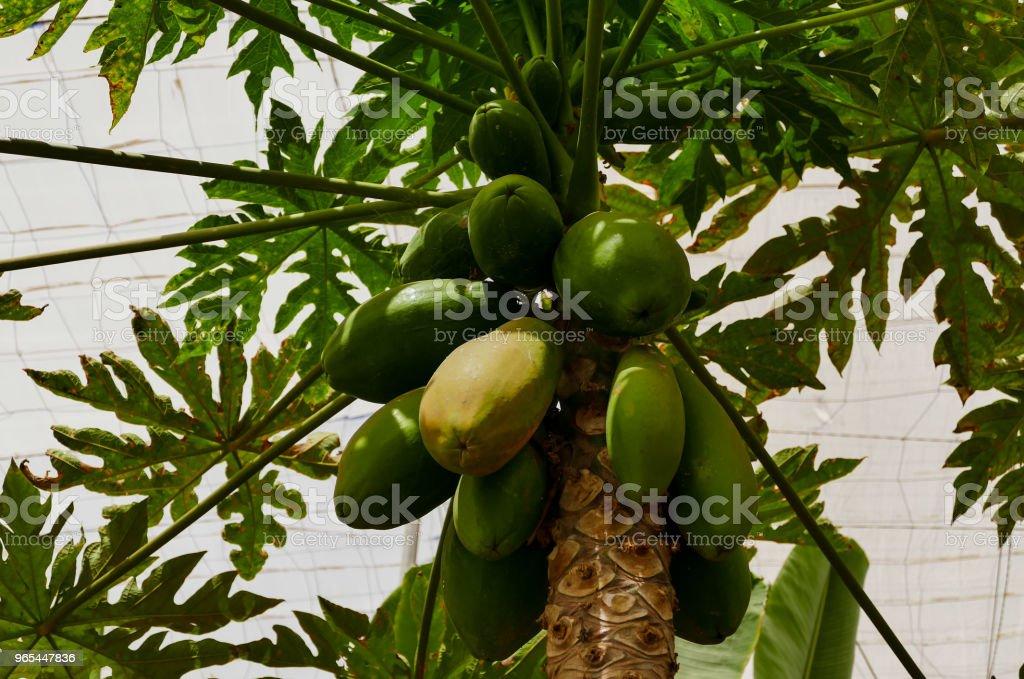 유기농 그린 파파야 나무에 - 로열티 프리 0명 스톡 사진