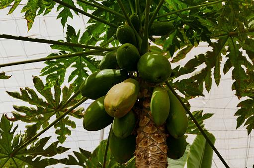 유기농 그린 파파야 나무에 0명에 대한 스톡 사진 및 기타 이미지