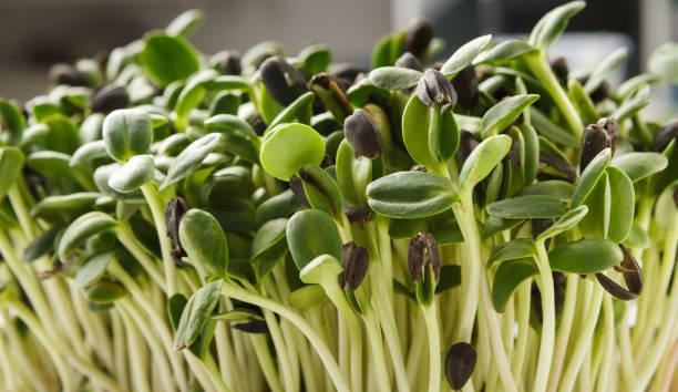 organiska växande mikro greener närbild - pea sprouts bildbanksfoton och bilder