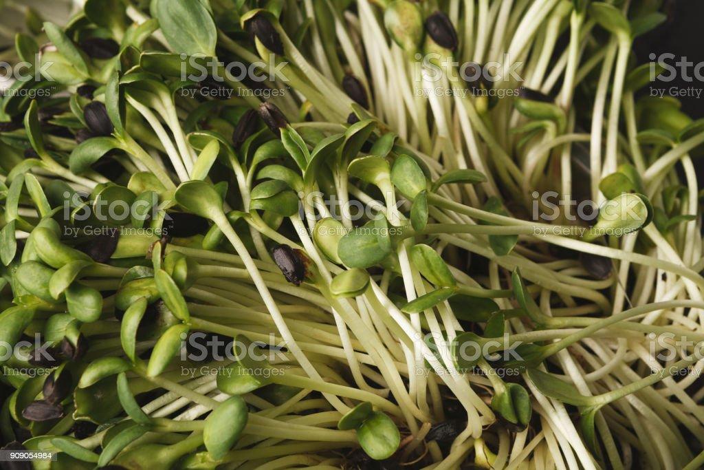 Organic growing micro greens closeup stock photo