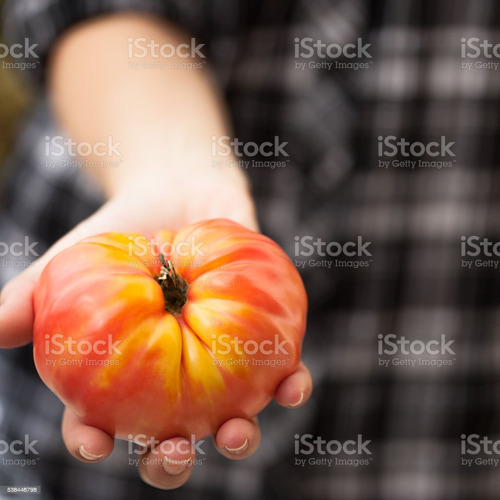 Organic heirloom tomato in young woman's hands stock photo
