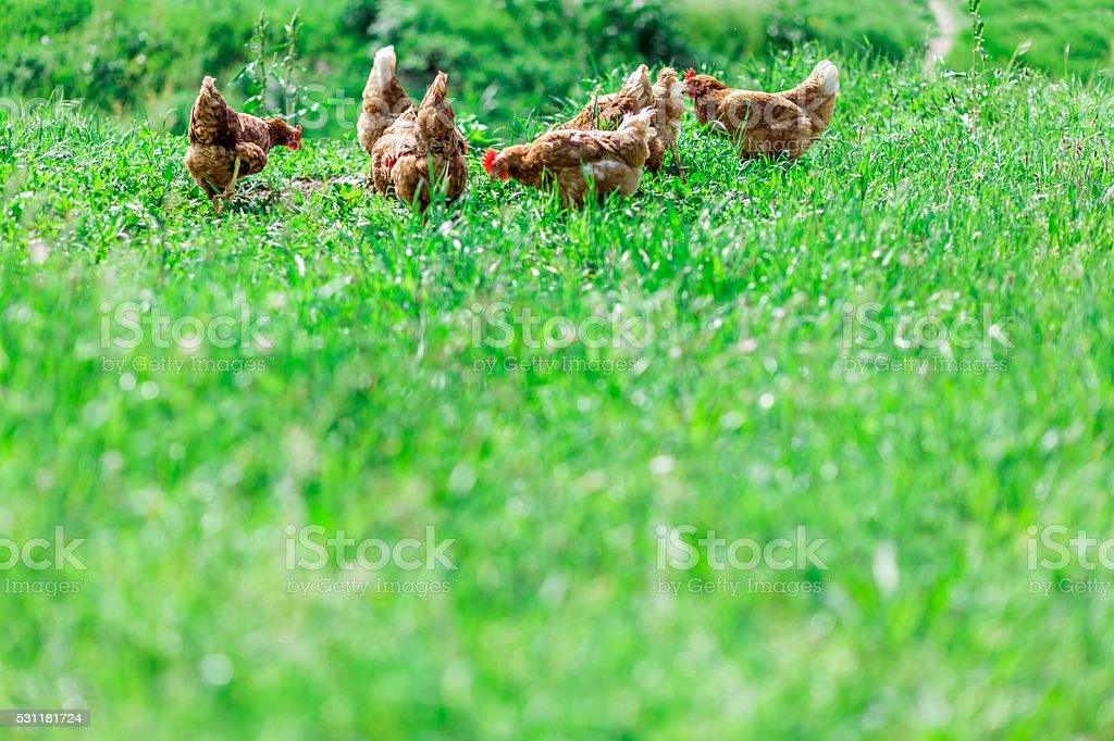 Organic Hen in Lush Springtime Pasture Grass stock photo