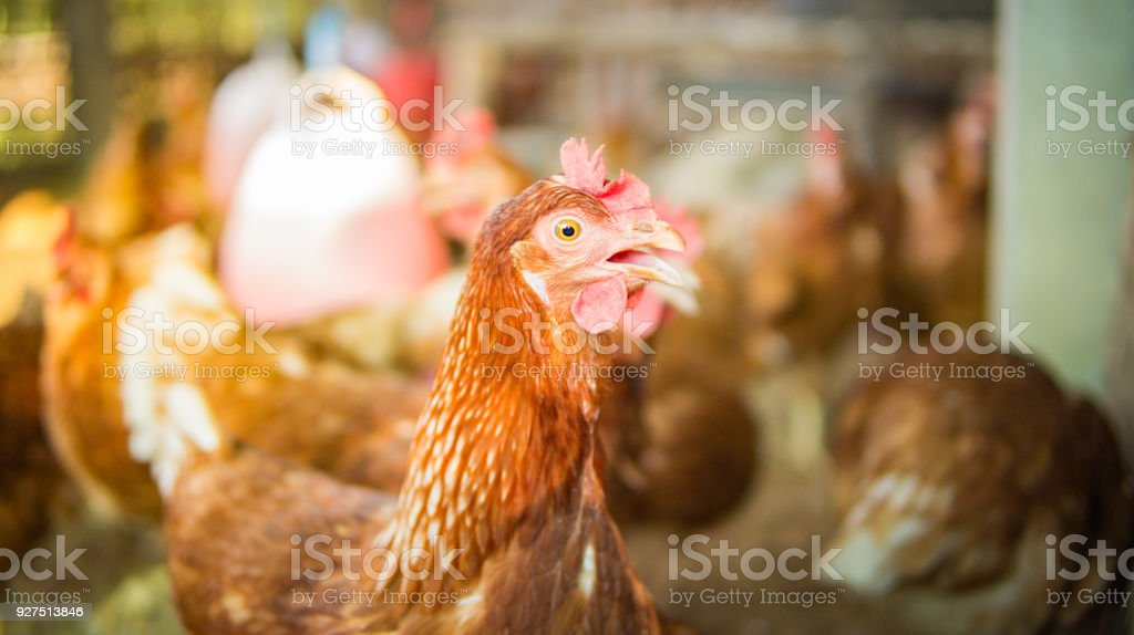 Organic Hens Farm Or Chicken Farm Is Safety Food For Sale To People