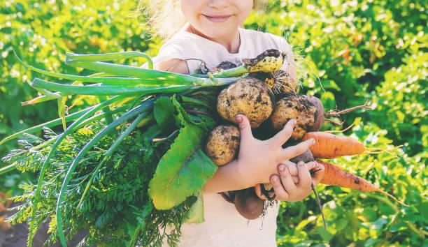 有機自製蔬菜收穫胡蘿蔔和甜菜 - 有機食品 個照片及圖片檔