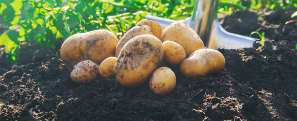 有機自製蔬菜收穫土豆。選擇性對焦。 - 薯仔食品 個照片及圖片檔