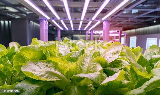 istock Organic hydroponic Brassica chinensis vegetable grow with LED Light Indoor farm,Agriculture Technology 981285850