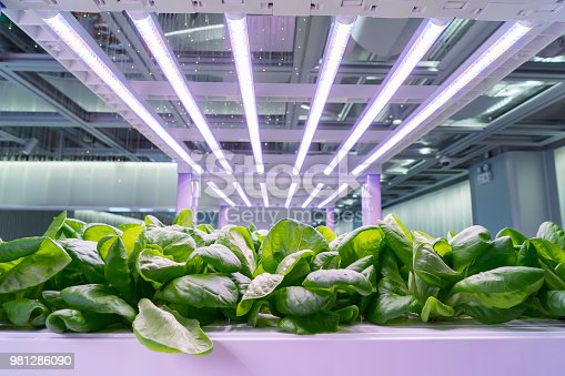 istock Organic hydroponic Brassica chinensis vegetable grow with LED Light Indoor farm,Agriculture Technology 981286090