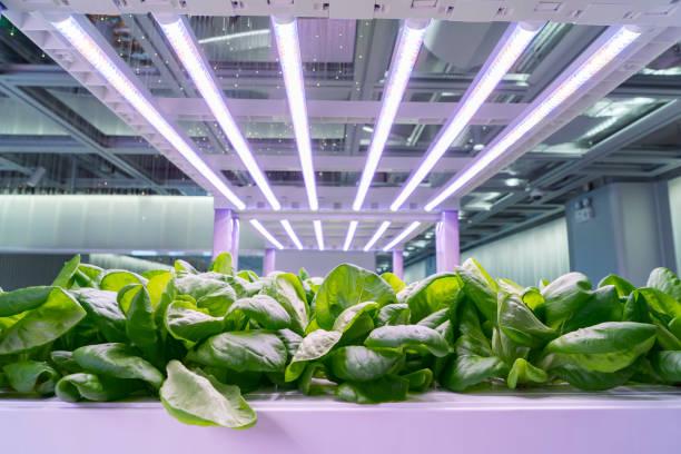 organischen hydroponischen brassica chinensis gemüse wachsen mit led licht indoor bauernhof, landwirtschaft, technologie - gartenbau betrieb stock-fotos und bilder