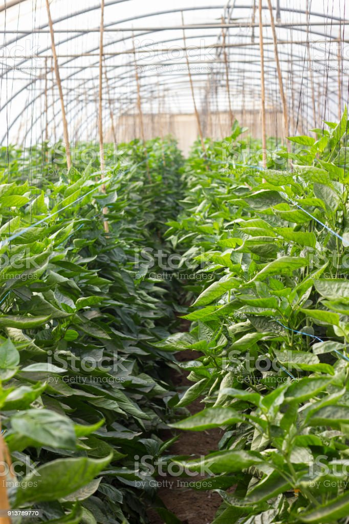 Organic hydroponic vegetable cultivation farm at countryside, jordan valley. stock photo