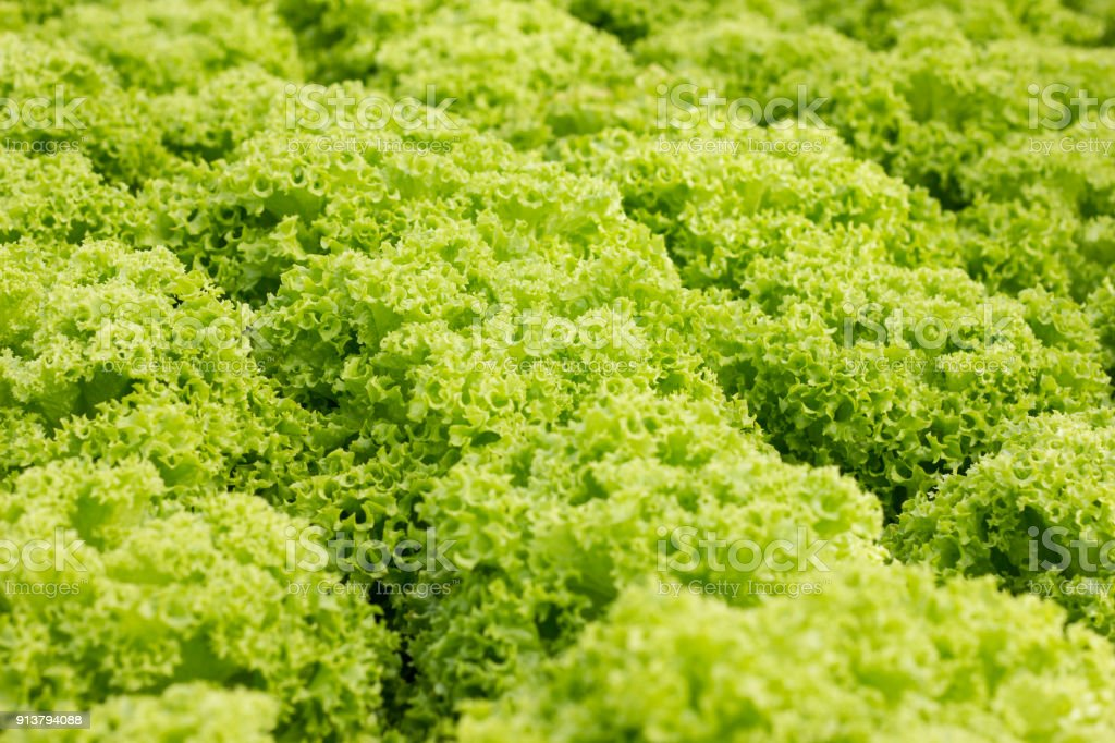 Organic hydroponic vegetable cultivation farm at countryside, jordan valley, Lettuce stock photo