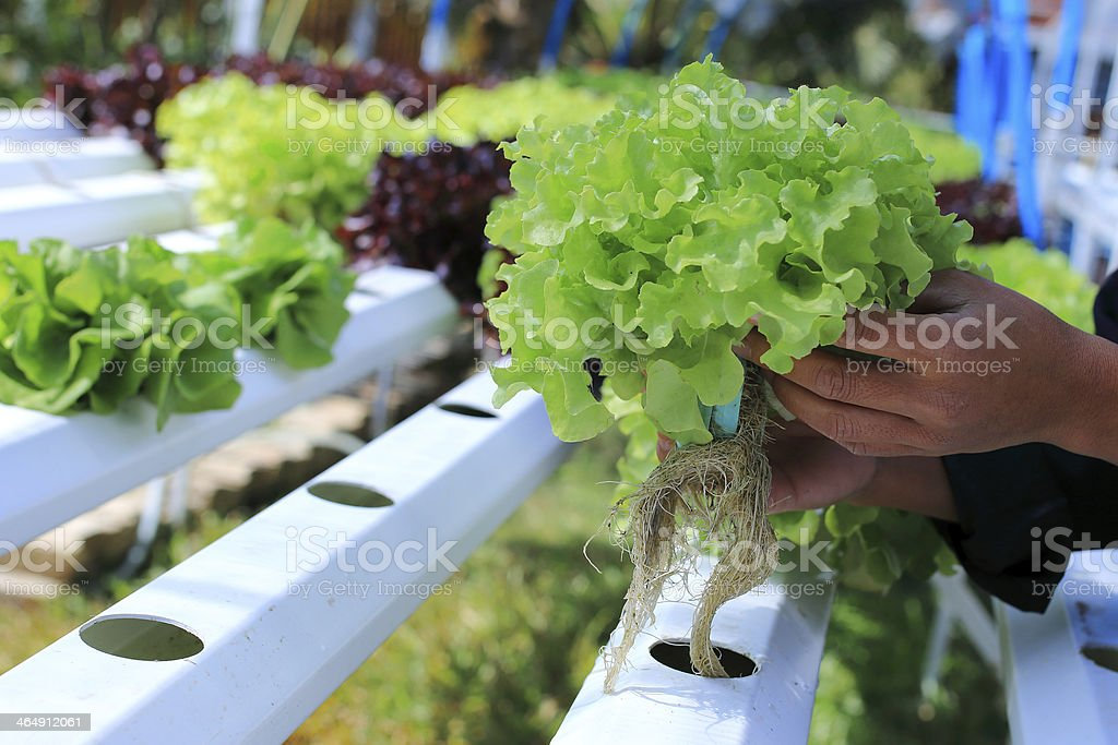 Organic hydroponic vegetable farm stock photo