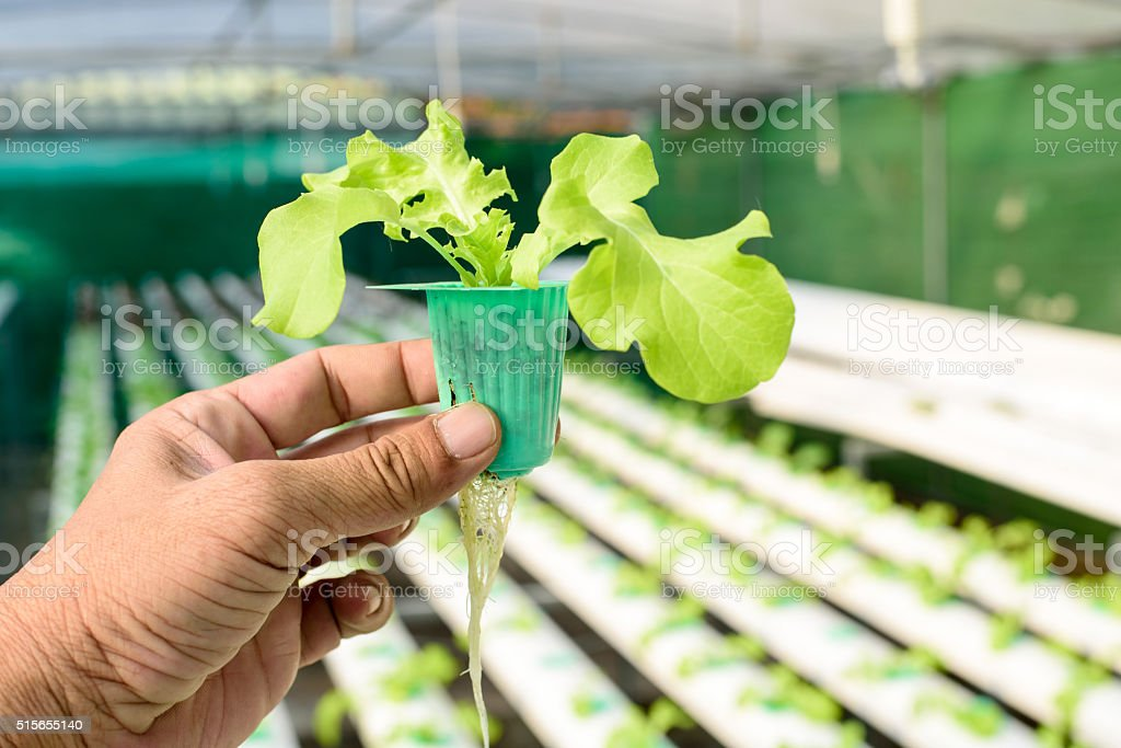 Organic hydroponic vegetable stock photo