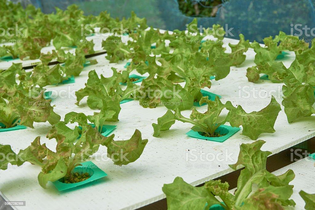 Hidropônica legumes orgânicos. foto royalty-free