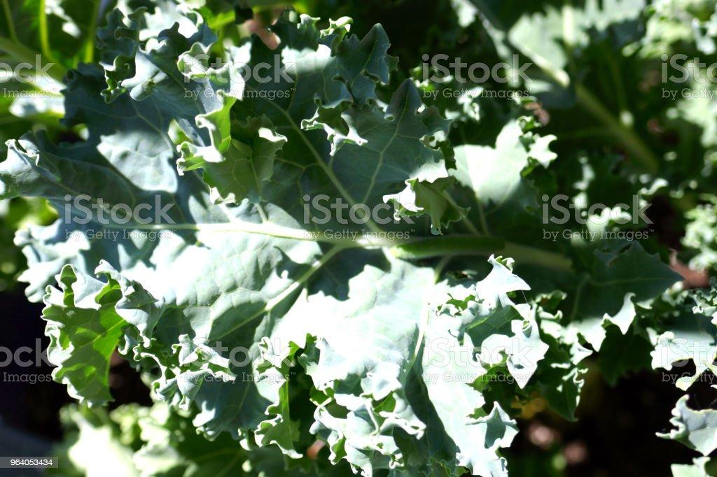 Organic Kale - Royalty-free Cabbage Stock Photo