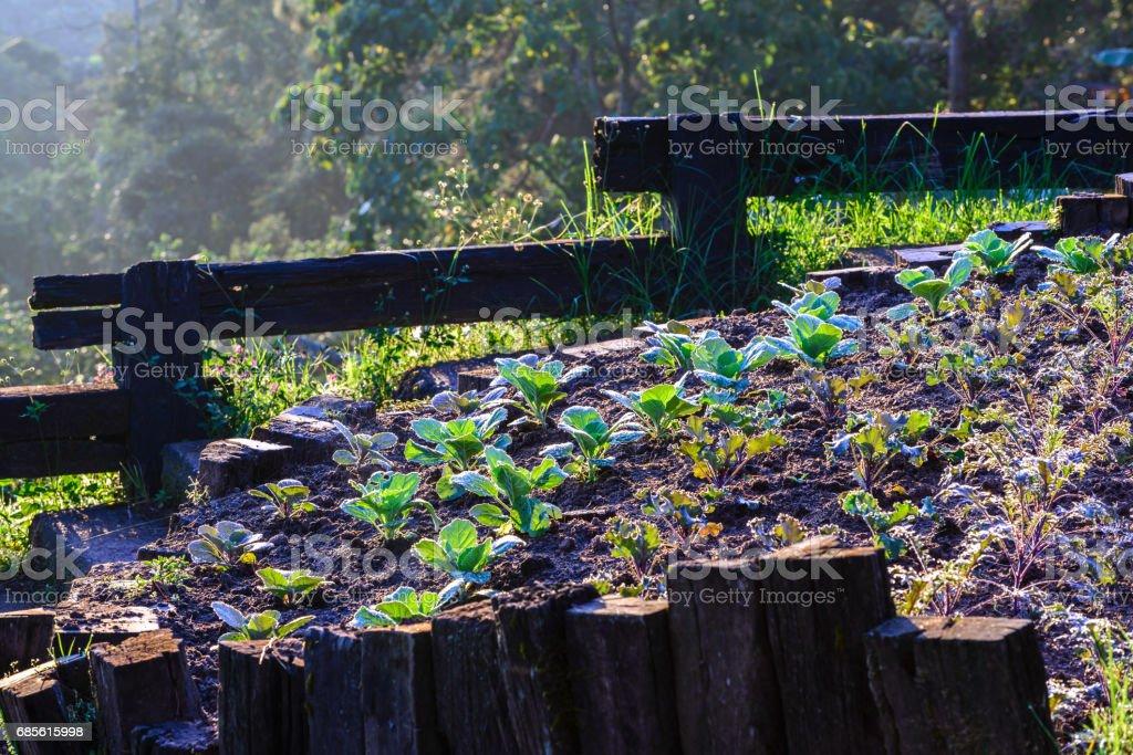 Bio Grünkohl Plantage am Morgen. Lizenzfreies stock-foto