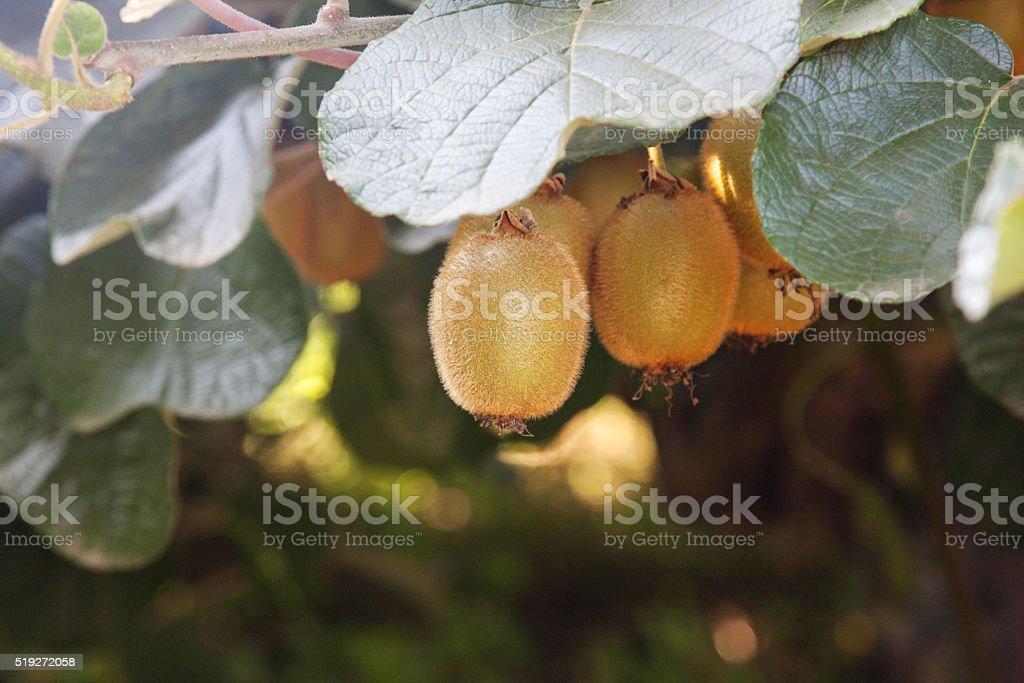 Bio-kiwi – Foto