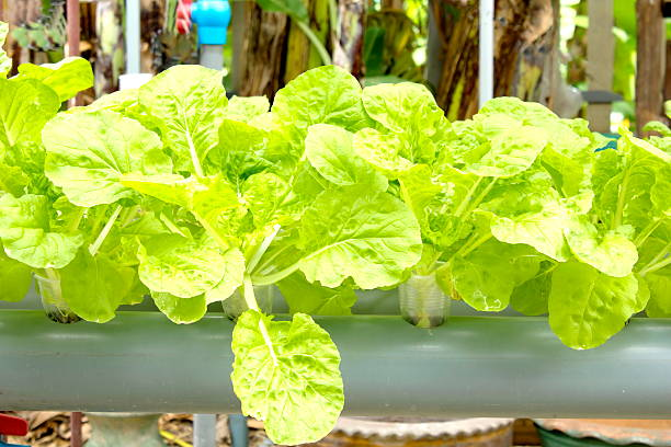Organic lettuce Organic vegetables grown on plastic pipes, PVC water visibly rotating through. Do not use chemicals. apparently stock pictures, royalty-free photos & images