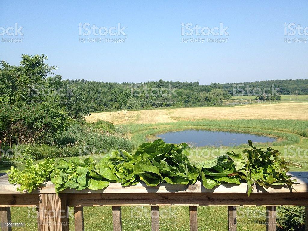 Organic Lettuce Varieties of the Hudson Valley stock photo