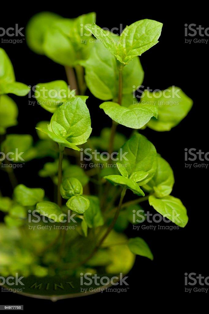 Organic Mint Seedling royalty-free stock photo