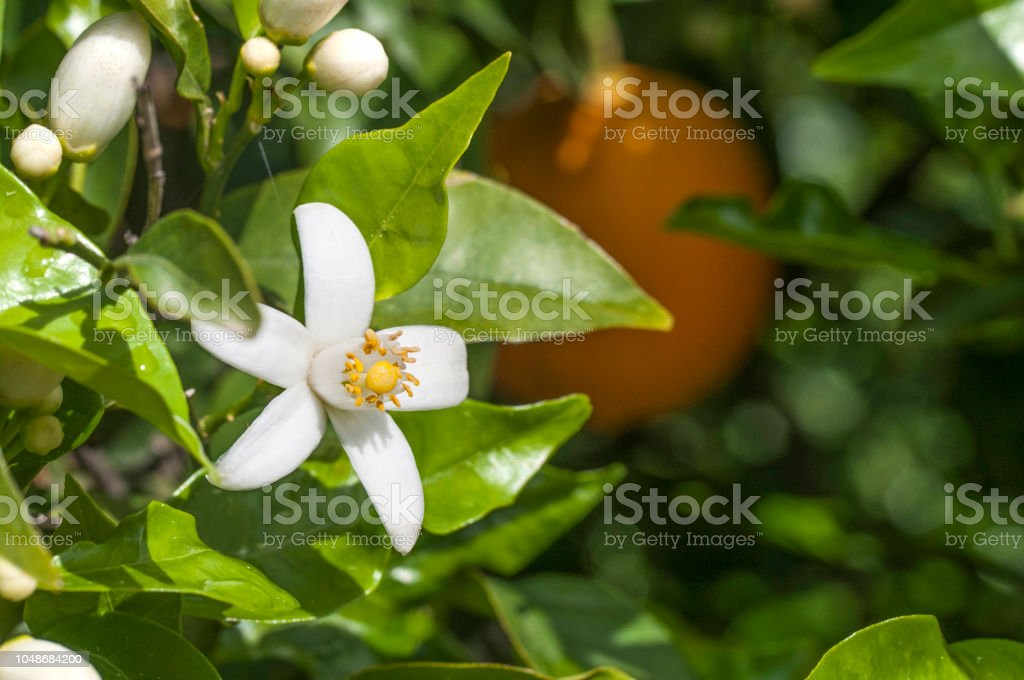 Bio-Orangenbäumen – Foto
