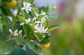 istock Organic orange trees 1266485191