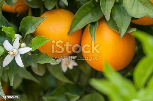 Orange tree with blossoms, and clusters of juicy, harvest ready oranges