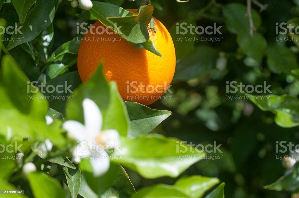 Organic orange trees stock photo