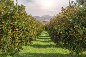 istock Organic oranges garden on homegrown orange tree 539358227
