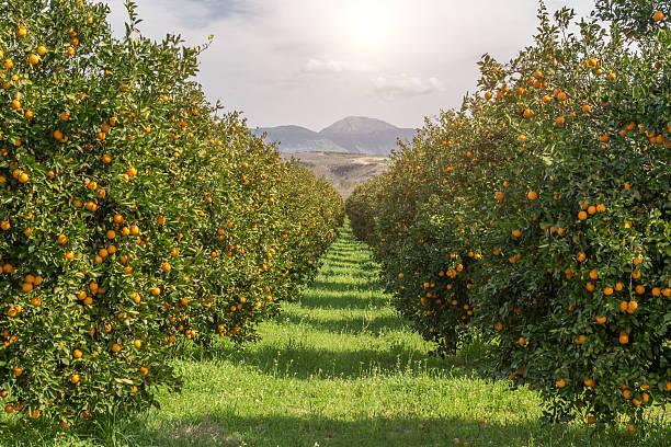 organic oranges garden on homegrown orange tree - fruitboom stockfoto's en -beelden