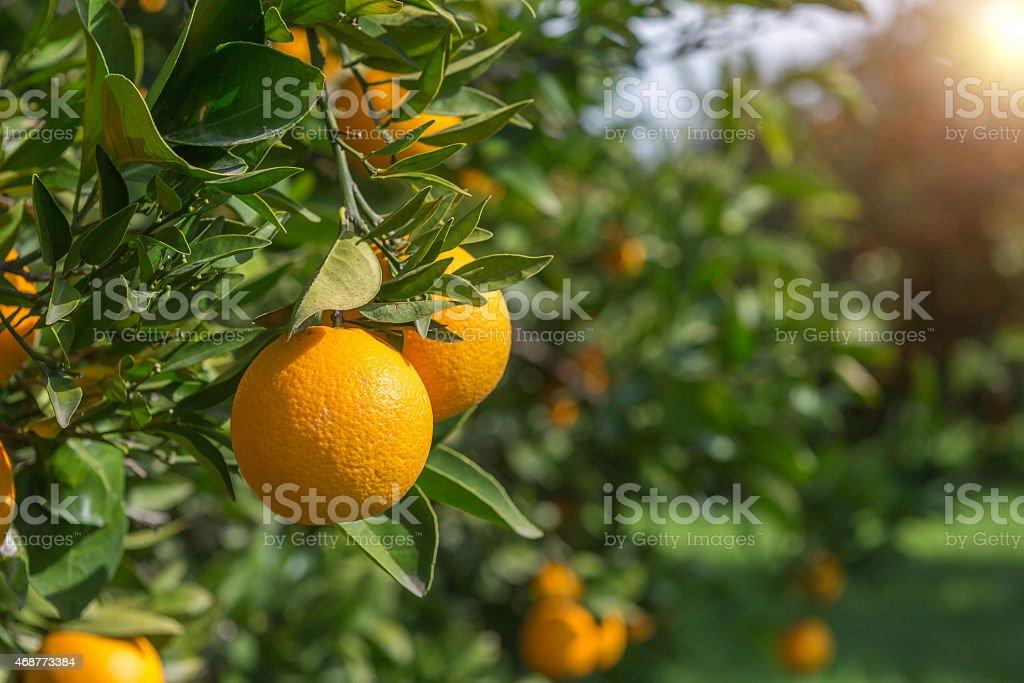 Organic oranges, on homegrown orange tree stock photo